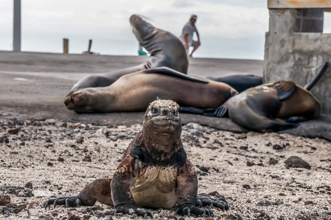 Marine Iguana of Floreana in front of Sea lions