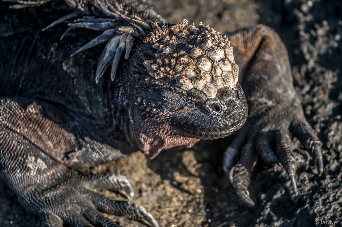 Marine Iguanas on James Bay