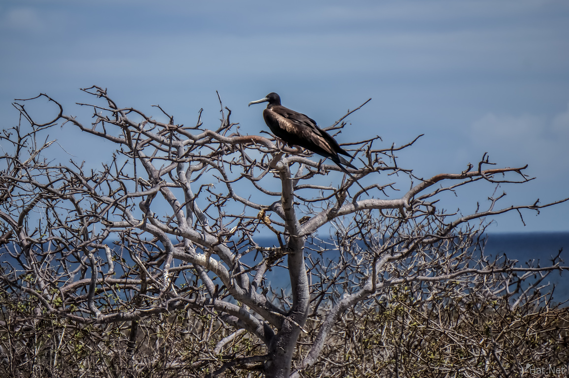 frigate Bird of North Seymour