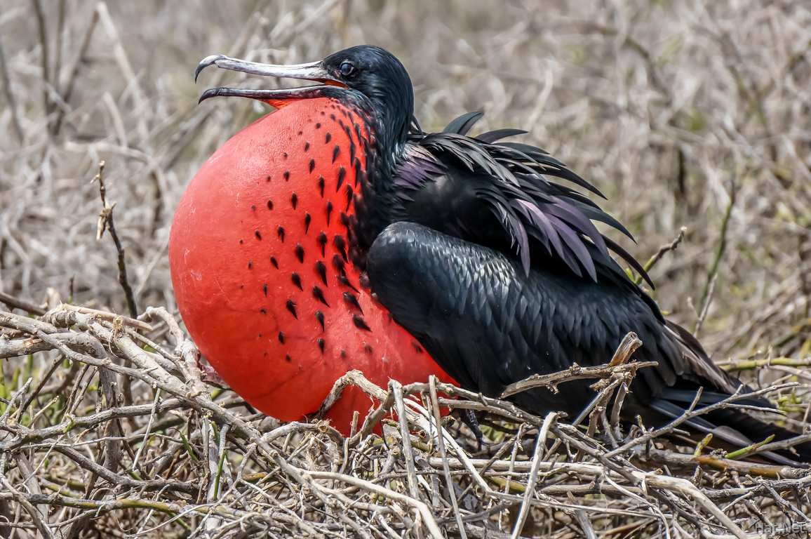 Male Frigate bird with Red Pouch Baloon in North Seymour