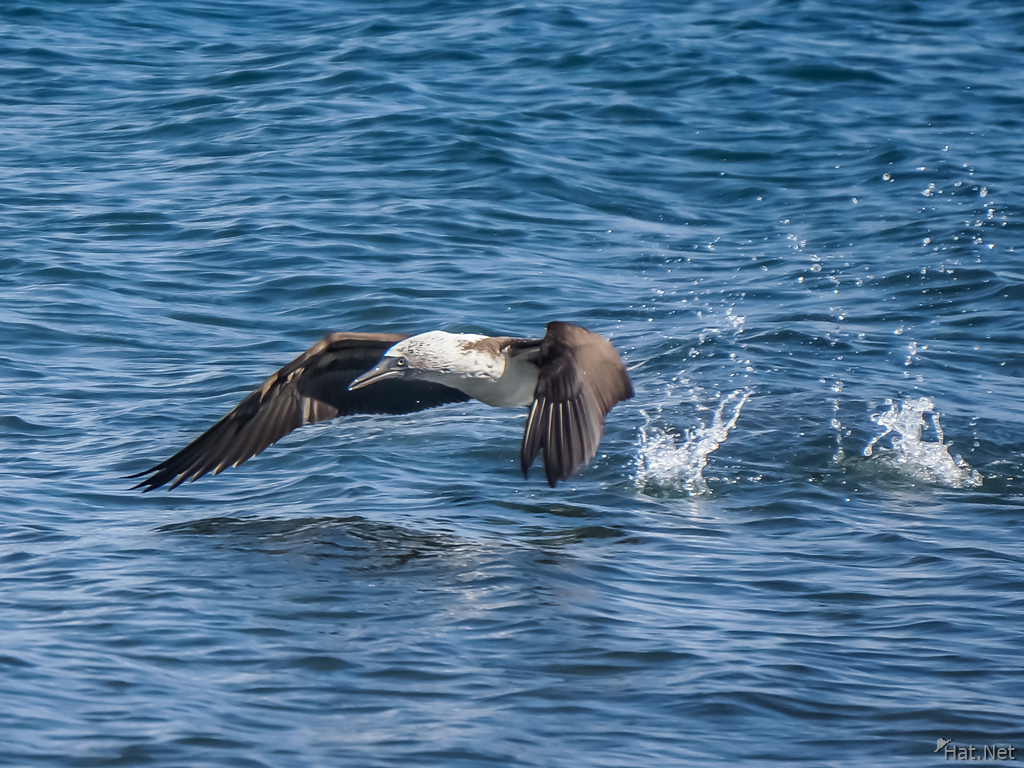 Blue Footed Boobie diving for fish-2