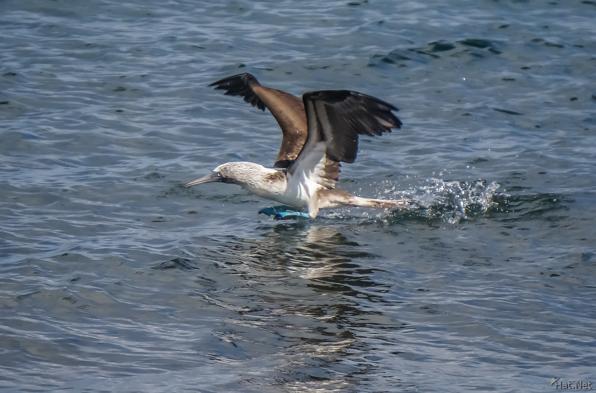 Blue Footed Boobie diving for fish