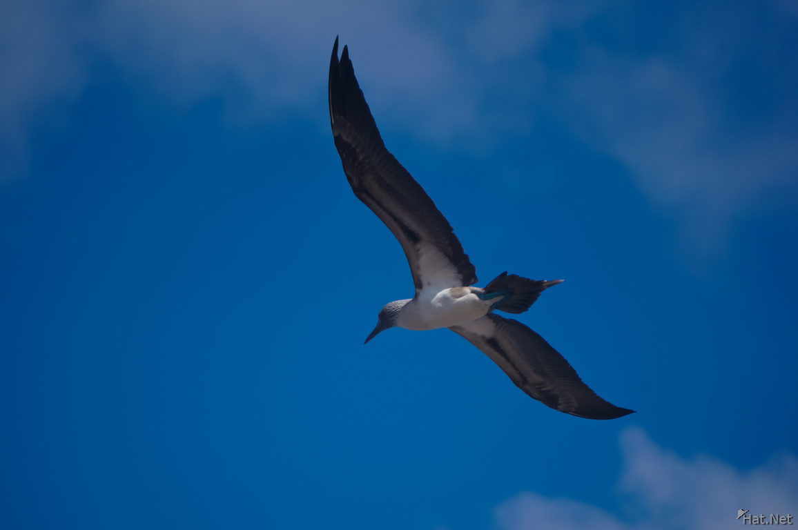 Blue footed booby hunting for fish