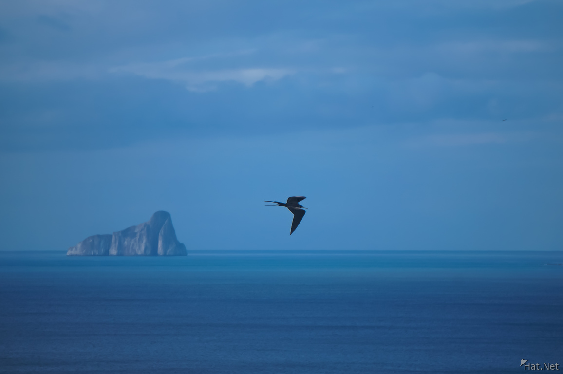 Frigate Bird near kicker rock - leon dormido