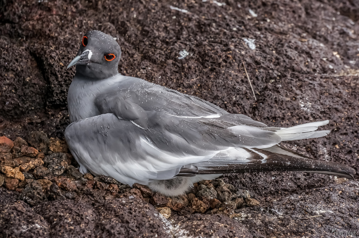 Swallo Tail Gull of Galapagos