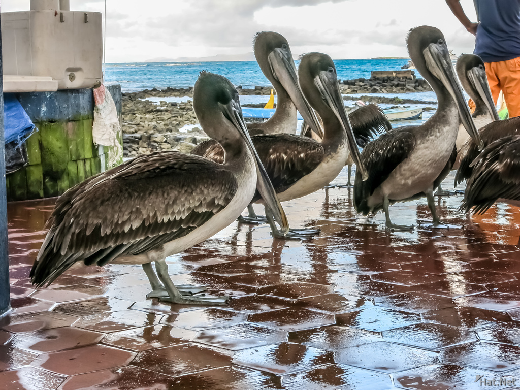 Brown Pelicans near Fish Market Puerto Ayora