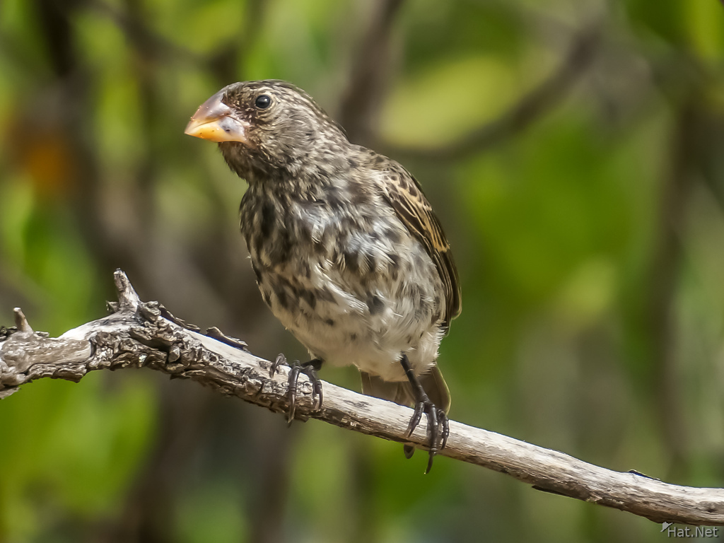 Ground Finch Isla Santiago