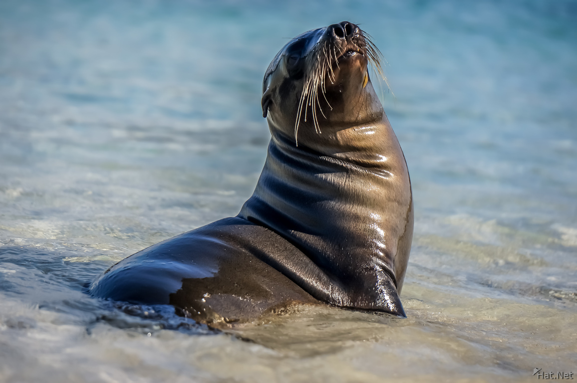 Sea Lion Chino Sombre