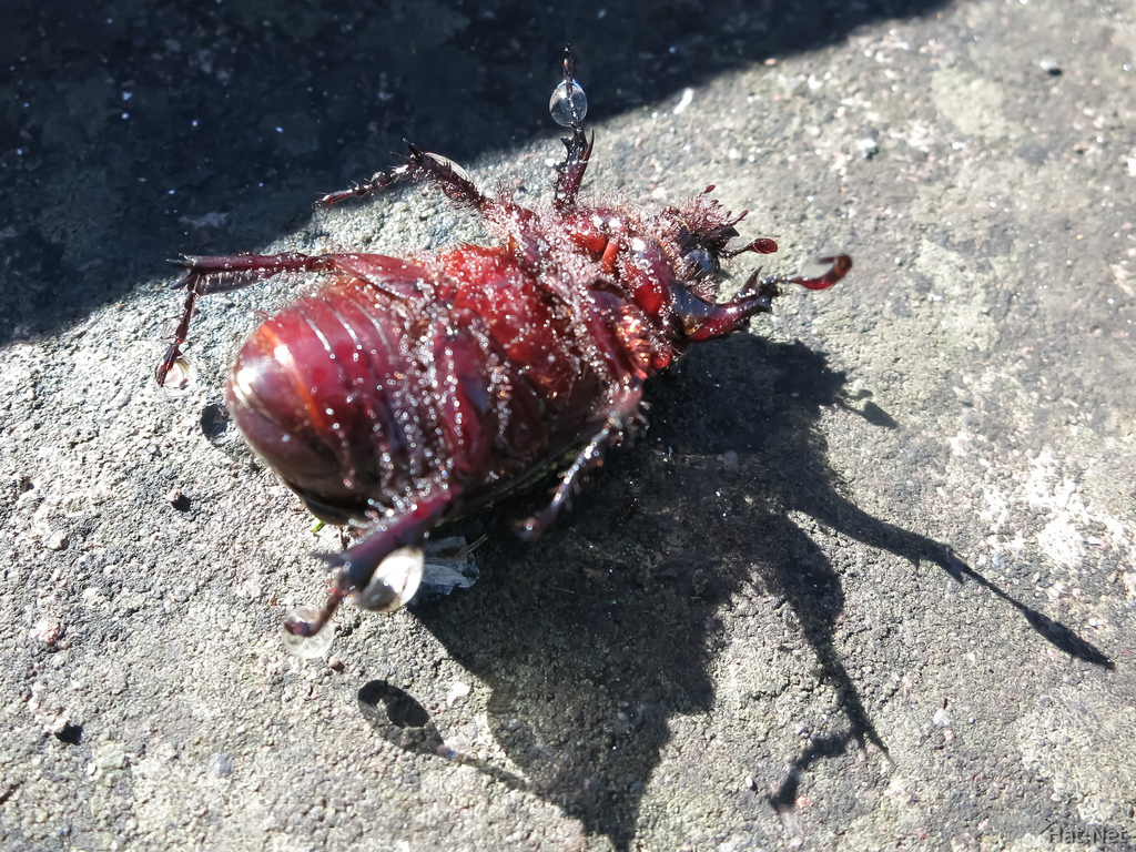 Dead beetle on Alausi St Peter Hill