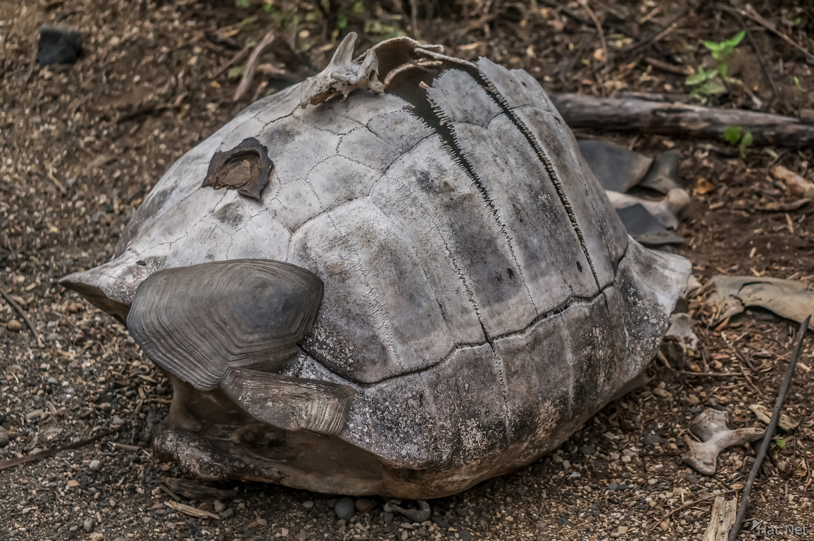 Dead giant tortoise on Urbina Bay