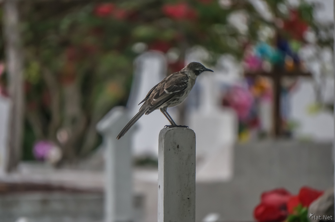 Mocking Bird of Puerto Ayora Cemetry