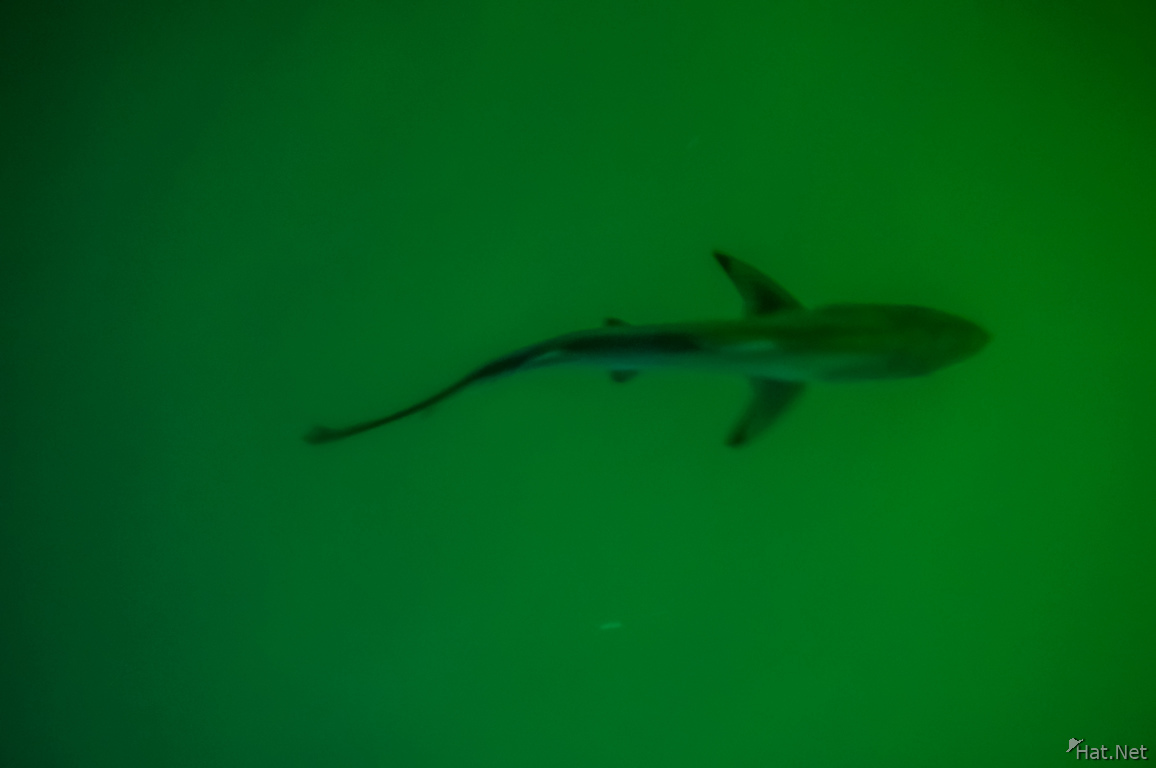 Baby Shark  near Puerto Ayora Harbour