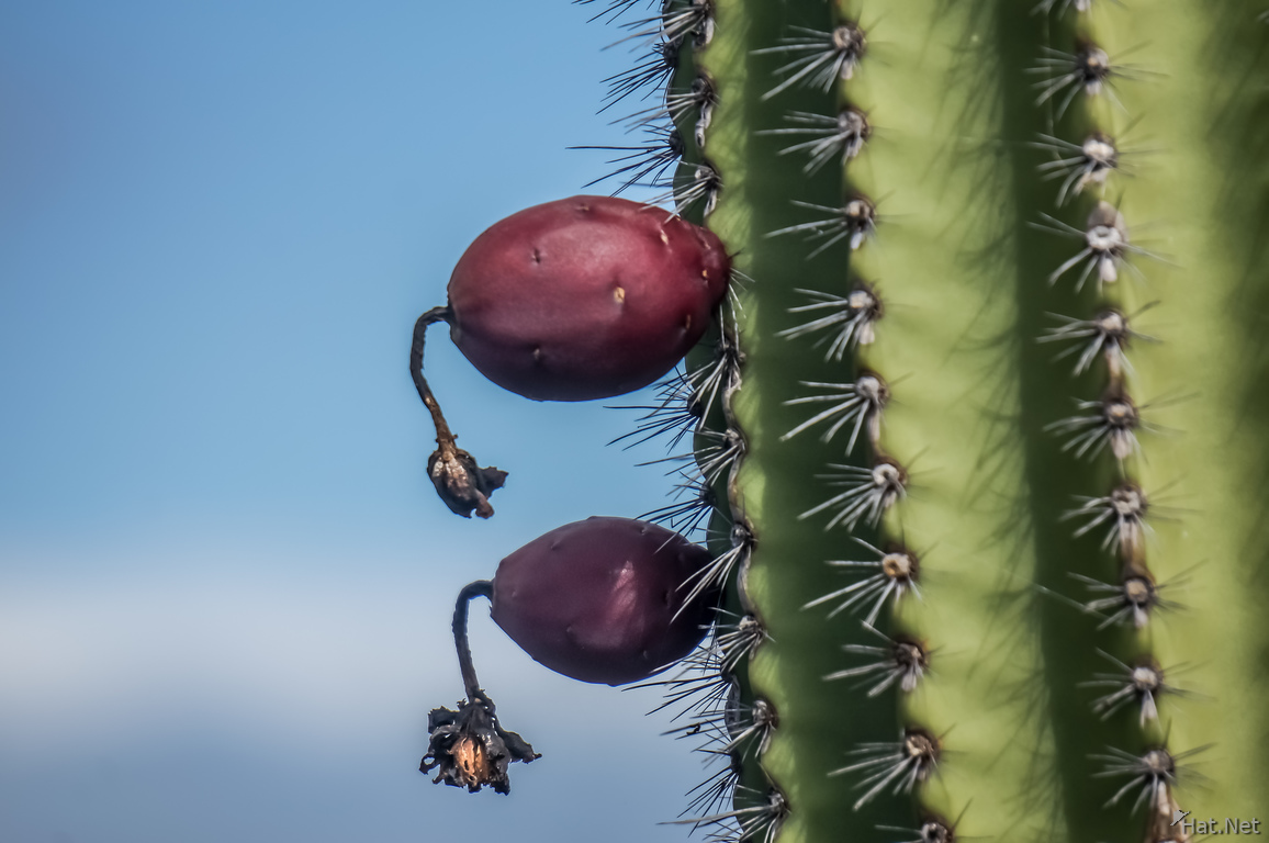Cactus Fruit near Punta Moreno