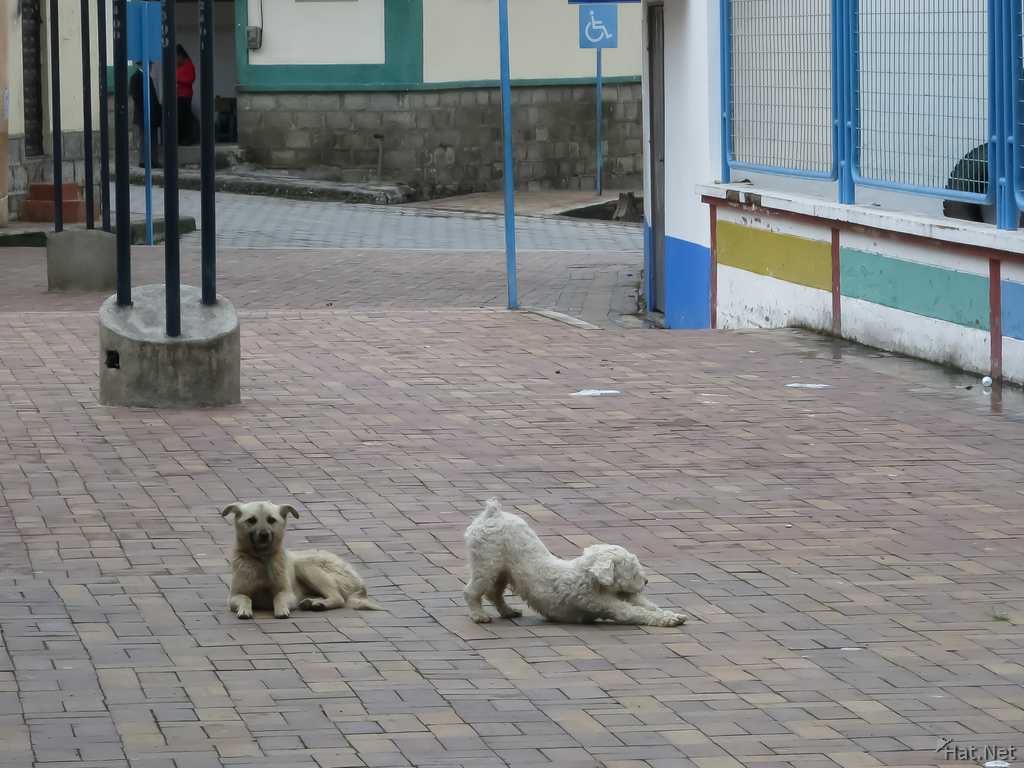 Street Dog fight in Alausi