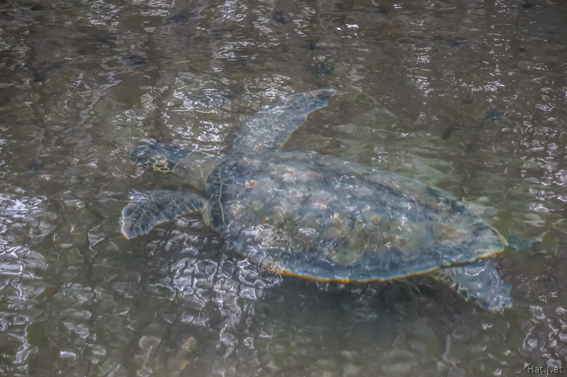 Sea turtle near Elizabeth Bay