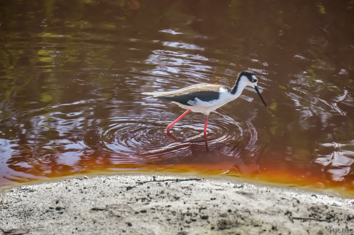 Black Necked Stilt near Iguana Crossing Puerto Villamil