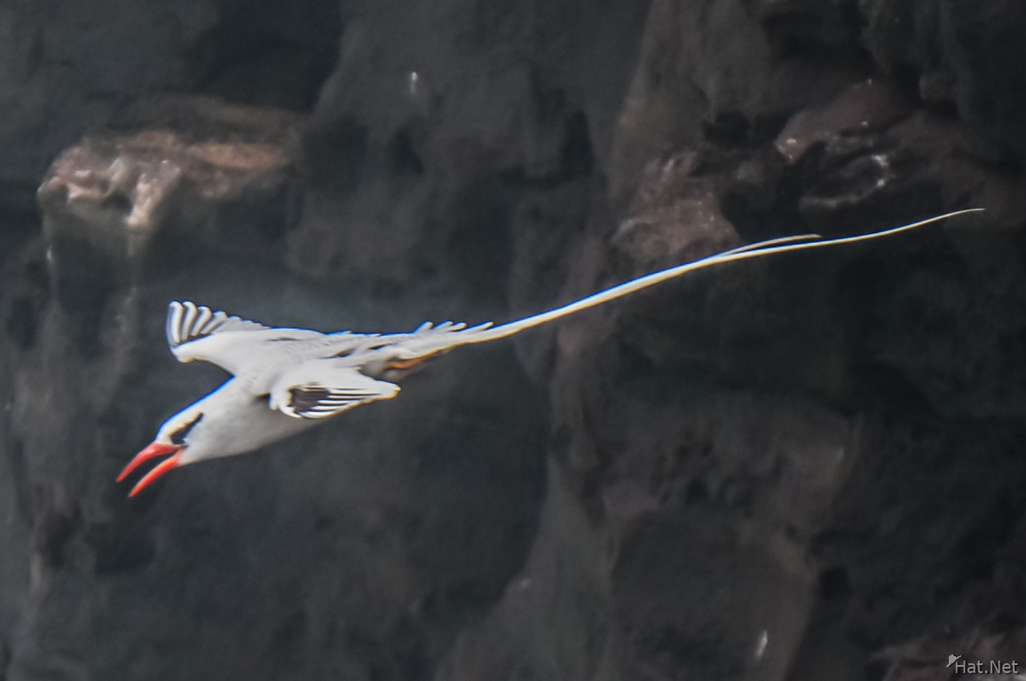 RED-BILLED TROPICBIRD-2