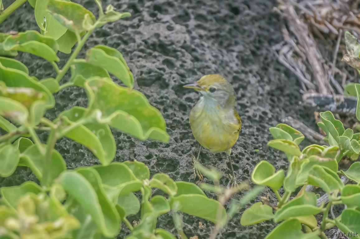 Yellow Warbler of La Loberia