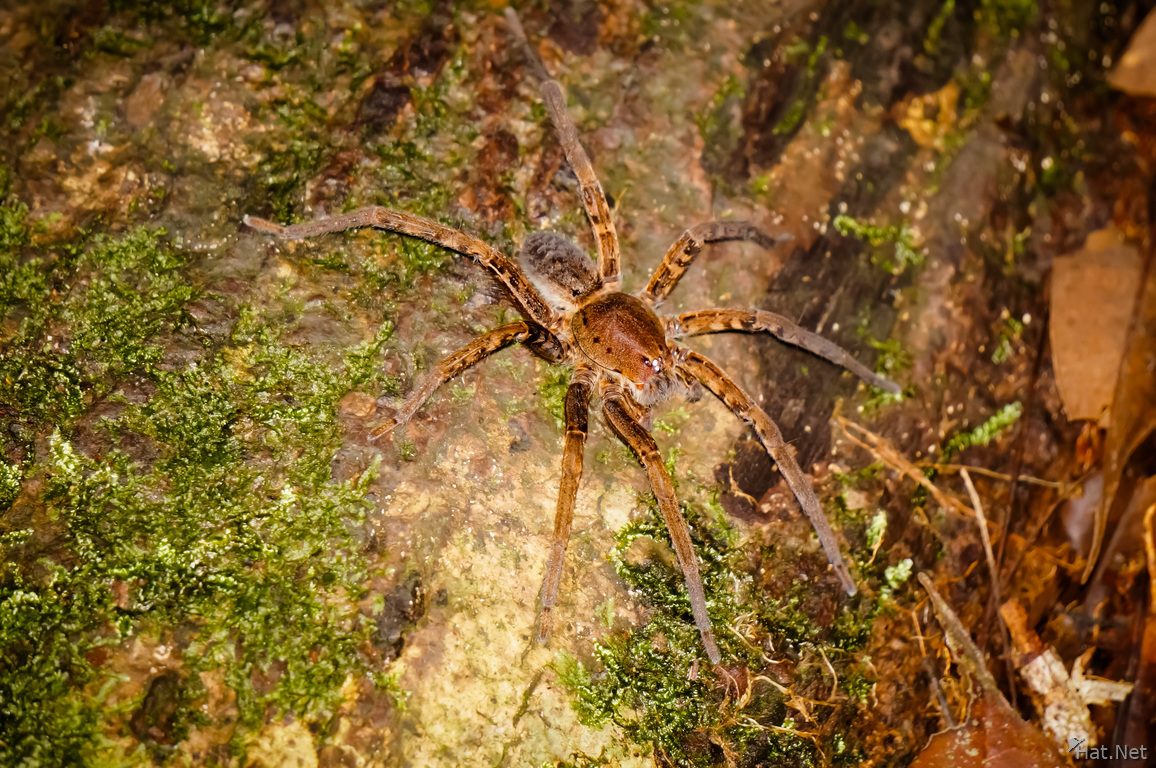 Scary big Amazon Brown spider