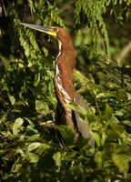 night heron Amazon,  Cuyabeno Reserve,  Sucumbios,  Ecuador, South America