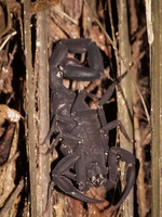 Amazon Scorpion Amazon,  Cuyabeno Reserve,  Sucumbios,  Ecuador, South America