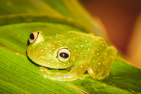 20140417131333-Green_Tree_Frog