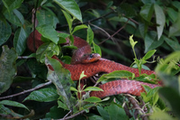 red snake Amazon,  Cuyabeno Reserve,  Sucumbios,  Ecuador, South America