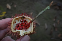 fruit for red coloring Amazon,  Cuyabeno Reserve,  Sucumbios,  Ecuador, South America
