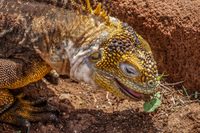 20140510110055-Land_Iguana_of_North_Seymour