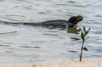 20140510131725-Marine_Iguana_Swimming_in_Lagoon