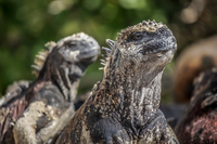 20140511144951-Marine_Iguana_Couple_of_Floreana