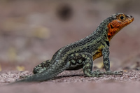 20140512091657-Female_lava_lizard_near_Tortuga_bay_Santa_Cruz_Island