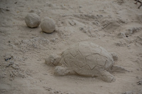20140512100239-Turtle_sand_sculpture_tortuga_bay