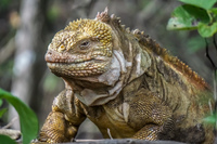 20140515142759-Land_Iguana_on_Urbina