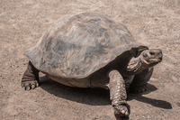 20140517124759-Land_Tortoise_Breeding_Center_on_Isla_Isabella