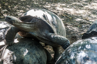 20140517130701-Land_Tortoise_Breeding_Center_on_Isla_Isabella