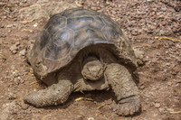 20140520103926-Giant_Tortoise_in_San_Cristobal_Breeding_Center