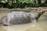 20140520111229-Giant_Tortoise_in_San_Cristobal_Breeding_Center