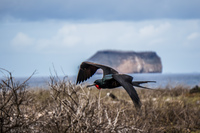 Frigate Bird of North Seymour Puerto Ayora, Galapagos, Ecuador, South America