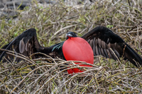 Male Frigate bird with Red Pouch Baloon in North Seymour-2 Puerto Ayora, Galapagos, Ecuador, South America