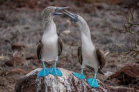 Mating Ritual of Blue Footed Boobies Puerto Ayora, Galapagos, Ecuador, South America