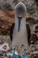 20140510111636-Mating_Ritual_of_Blue_Footed_Boobies
