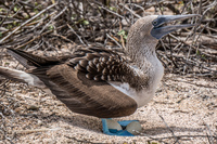 Blue footed booby laying eggs Puerto Ayora, Galapagos, Ecuador, South America