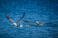 20140514090441-Blue_Footed_Boobie_diving_for_fish-2