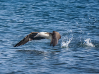 Blue Footed Boobie diving for fish-2 Sombrero Chino, Rabida, Galapagos, Ecuador, South America