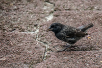 20140512090834-Darwin_finch_near_Tortuga_bay