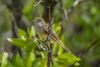 20140514084252-Galapagos_Flycatcher