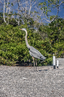 Great Blue Heron Fernandina Island, Galapagos, Ecuador, South America