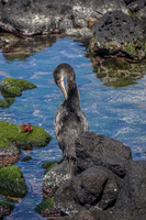 20140515092332-Flightless_Comorant_in_Fernandina
