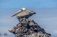 Brown Pelican of Elizabeth Bay Isabella, Galapagos, Ecuador, South America